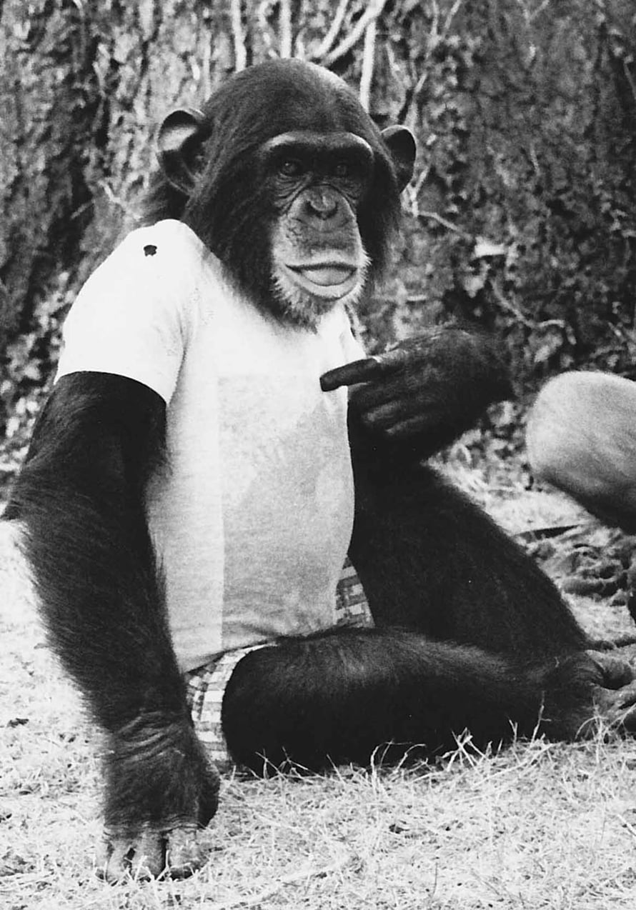 """Simpanssi oppii viittomaan kouluttajaa jäljittelemällä. (Kuva: <span class=""""photographer"""">Herb Terrace, Nim Project)</span>"""