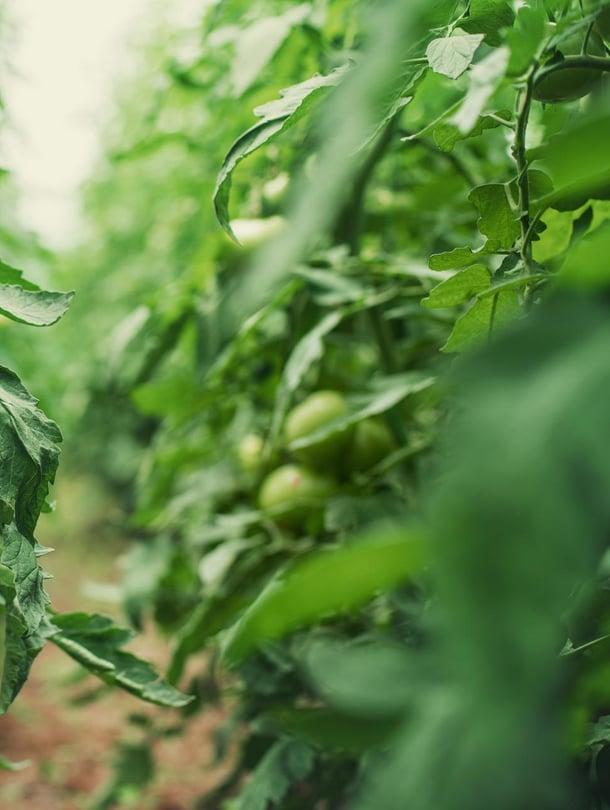 """Tomaatti päästää ääniä, jos se kärsii kuivuudesta tai jos sen varsi katkotaan. Kuva: <span class=""""photographer"""">Shutterstock</span>"""