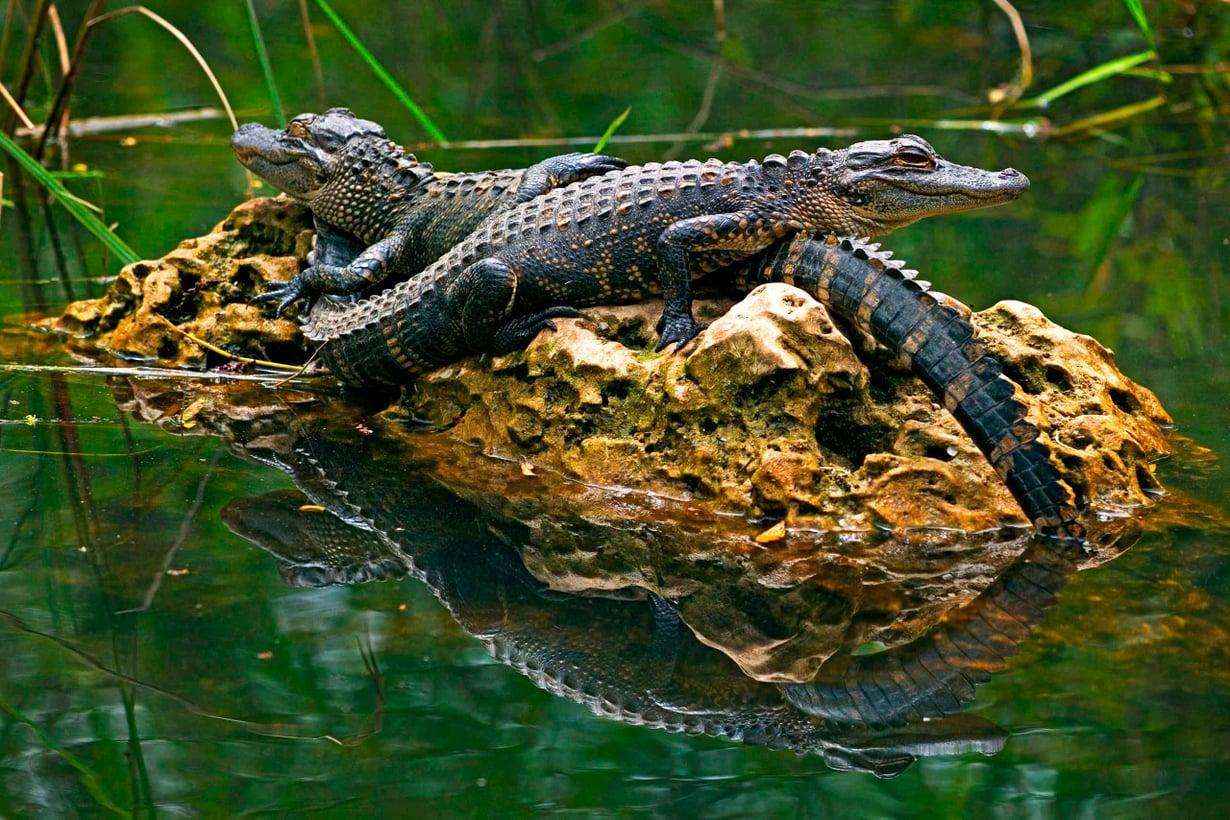 Nuoret mississipin alligaattorit kasvavat jopa viisimetrisiksi ja yllättävän oveliksi saalistajiksi. Kuva: Alamy / MV Photos