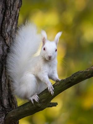 """Albiino orava tarkkailee ympäristöään. Myöhemmin samanaaras kisaili ruskean lajitoverin kanssa ja rakensi ahkerasti uutta pesää. Kuva: <span class=""""photographer"""">Esko Inberg</span>"""