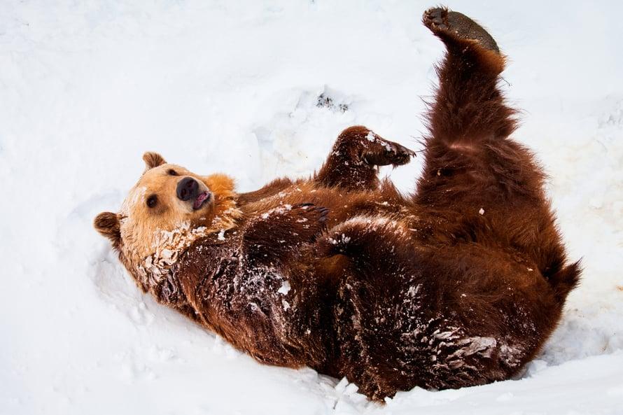 """Nykykarhun talviuni kestää lokakuulta huhtikuulle. Kuva: <span class=""""photographer"""">Shutterstock</span>"""