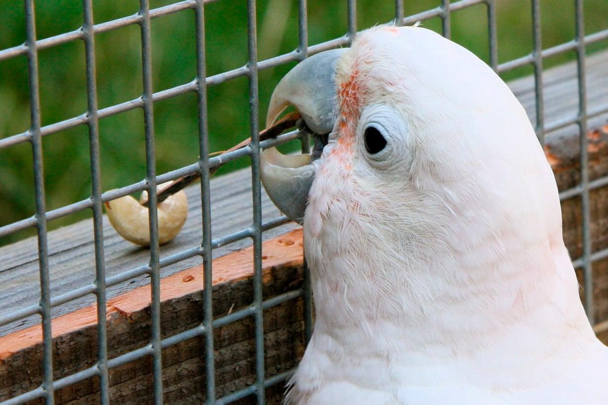 Figaro on kakadujen puuseppiä. Se keksi purra laudasta säleen, jolla voi vetää pähkinän itselleen. Kuva: Alice Auersberg