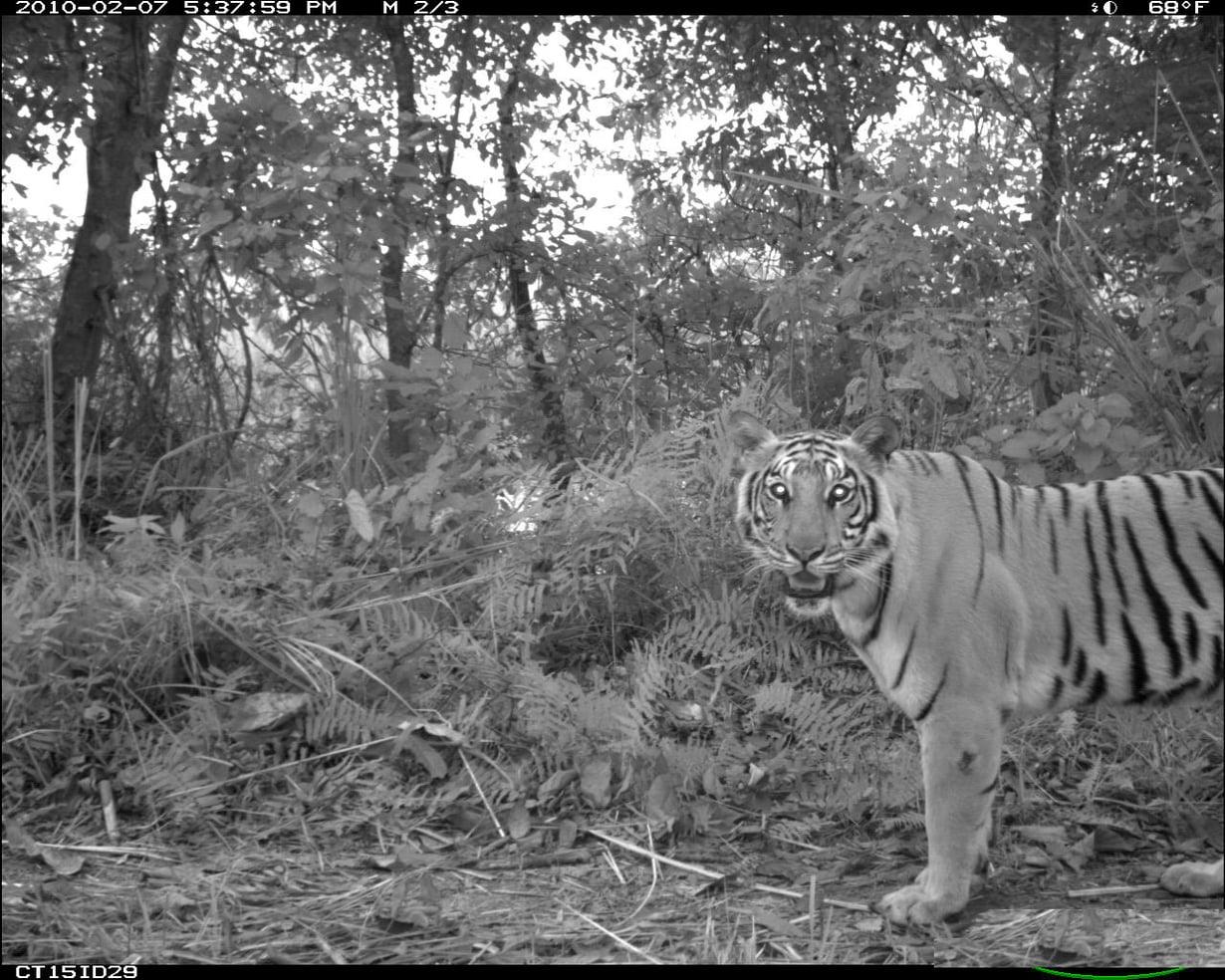 Begalintiikerin (Panthera tigris) ikuisti liikkestä aktivoituva kamera.