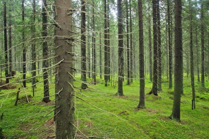 Talousmetsän tunnistaa tasaikäisistä puista ja  siisteydestä. Kuollut puu puuttuu lähes täysin.