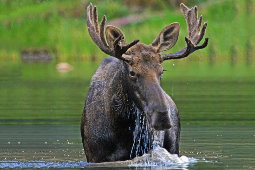 """Hirvi ei hikeenny hirvikärpäsistä. Kuva: <span class=""""photographer"""">Getty Images</span>"""