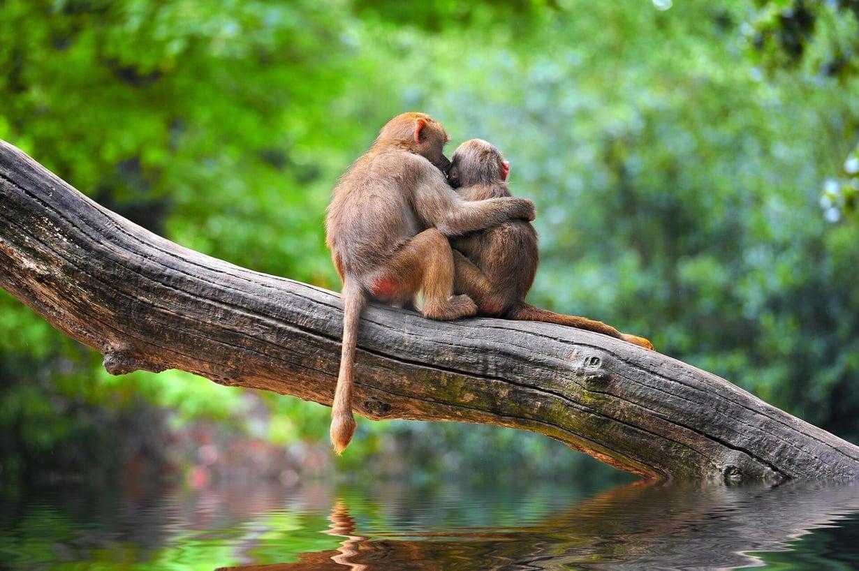 Monilla apinoilla on häntä vaan ei ihmisapinoilla. Kuva: Shutterstock