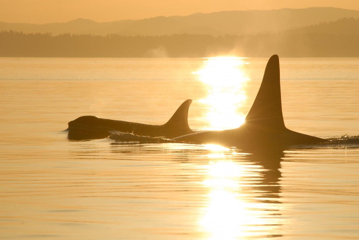 Miekkavalaita Yhdysvaltain San Juan -saarilla. Niin urokset kuin naaraat pysyvät emonsa parvessa sukukypsyyden saavuttamisen jälkeenkin.