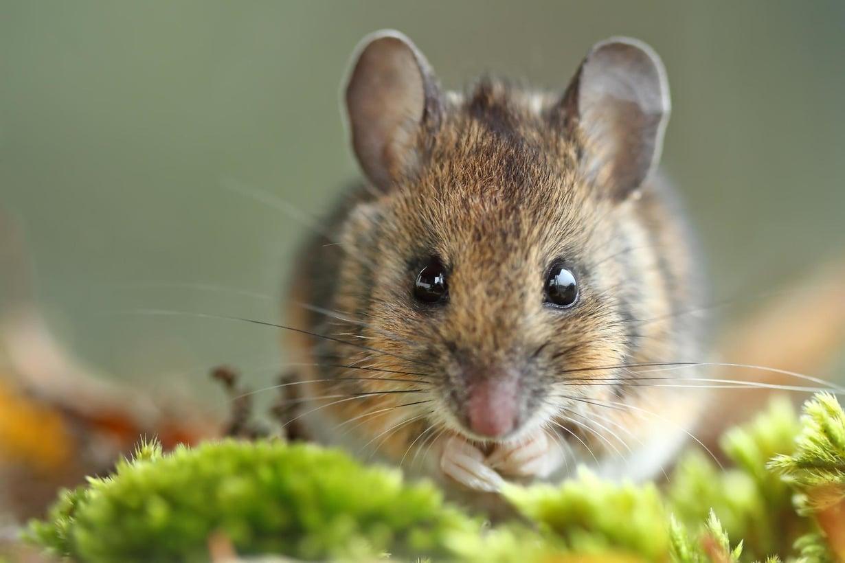 Vielä ei osata tehdä ihmisille samaa mitä hiirille. Kuva: Hector Ruiz Villar/Shutterstock