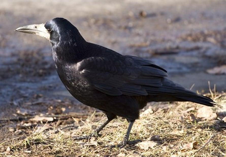 Mustavaris on lintujen älykköliigaa. <A HREF=http://en.wikipedia.org/wiki/File:Corvus_frugilegus_2.jpg>Wikimedia Commons</A>