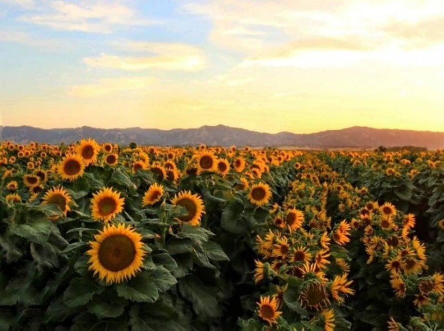 """Auringonkukkapelto Kaliforniassa. Kuva: <span class=""""photographer"""">Chris Nicolini / Kalifornian yliopisto Davisissa</span>"""