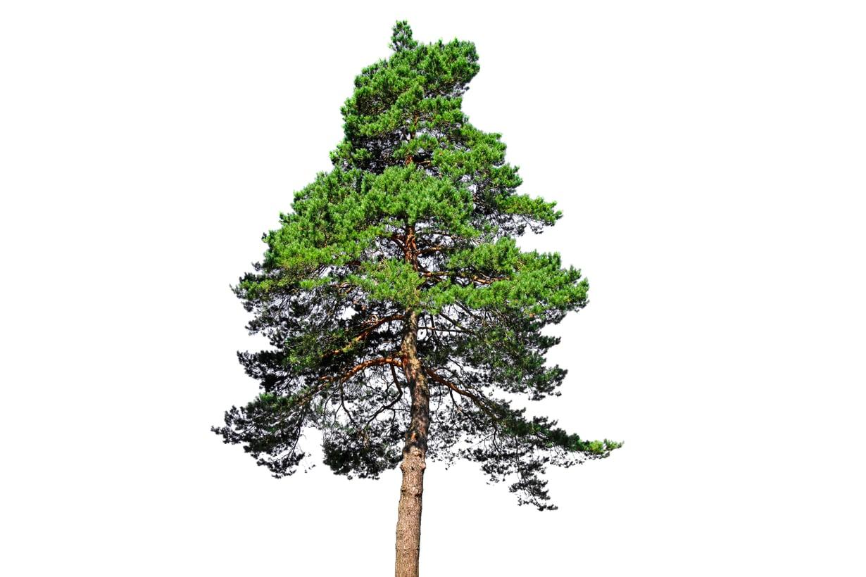 Honka, mänty, petäjä – sama puu, eri kulma. Kuva: Getty Images
