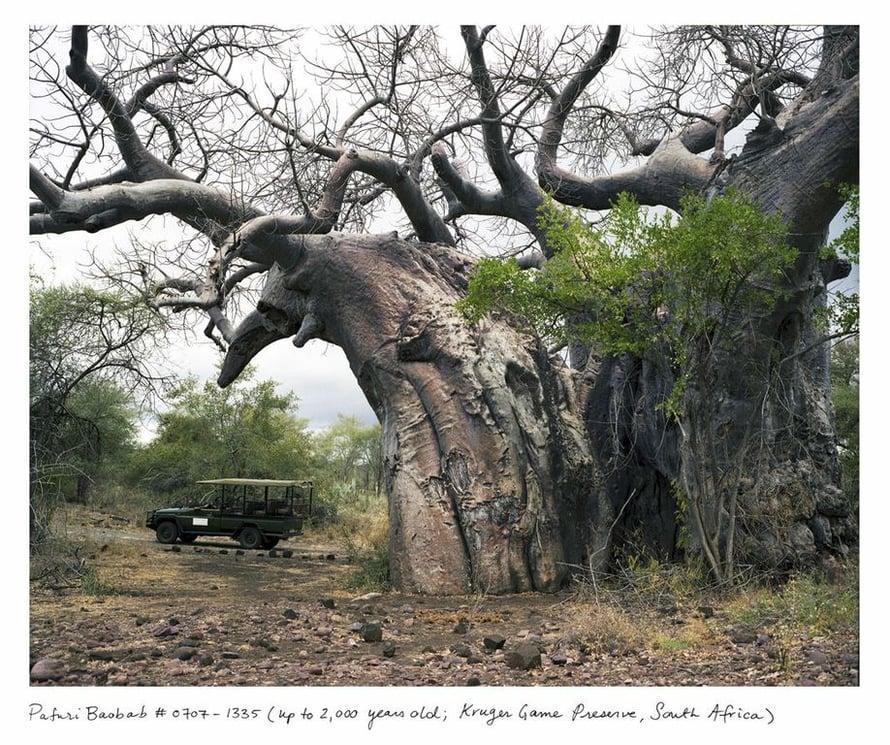 Baobab-puu on kuvattu Kruegerin kansallispuistossa Etelä-Afrikassa. Se on suojeltu ja sitä pääsee katsomaan vain aseistetun vartijan kanssa.