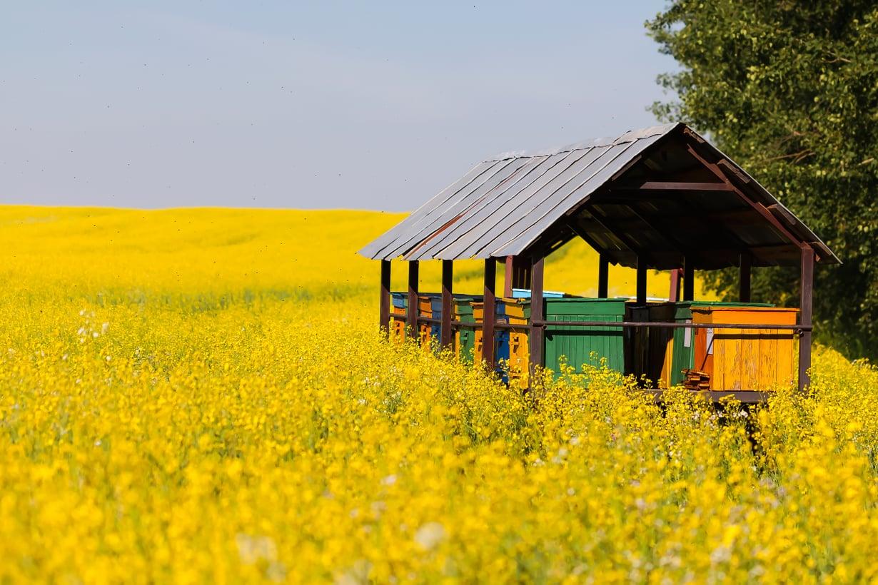 Tarhaus rypsipellolla tarjoaa mettä mehiläisille ja hyvän sadon viljelijälle. Ne, joilla ei ole pölyttäjiä omasta takaa, vuokraavat niitä palvelukseensa. Kuva: Getty Images