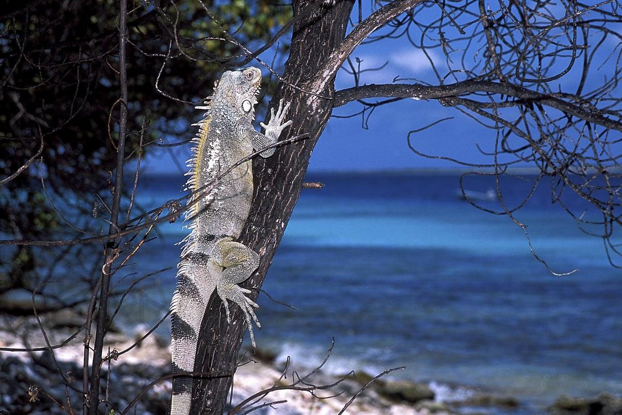Iguaaneja, kuten kuvan Iguana iguana, tavataan Keski- ja Etelä-Amerikassa sekä Karibialla. Tämä yksilö kuvattiin Hollannin Antilleilla. Kuva: CLAY COLEMAN / SCIENCE PHOTO LIBRARY