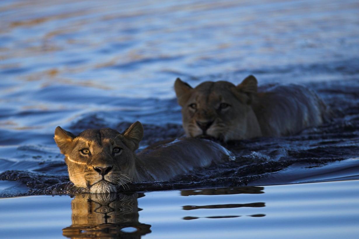 Pakon edessä leijonalta käy vesijuoksu. Kuva: Shutterstock