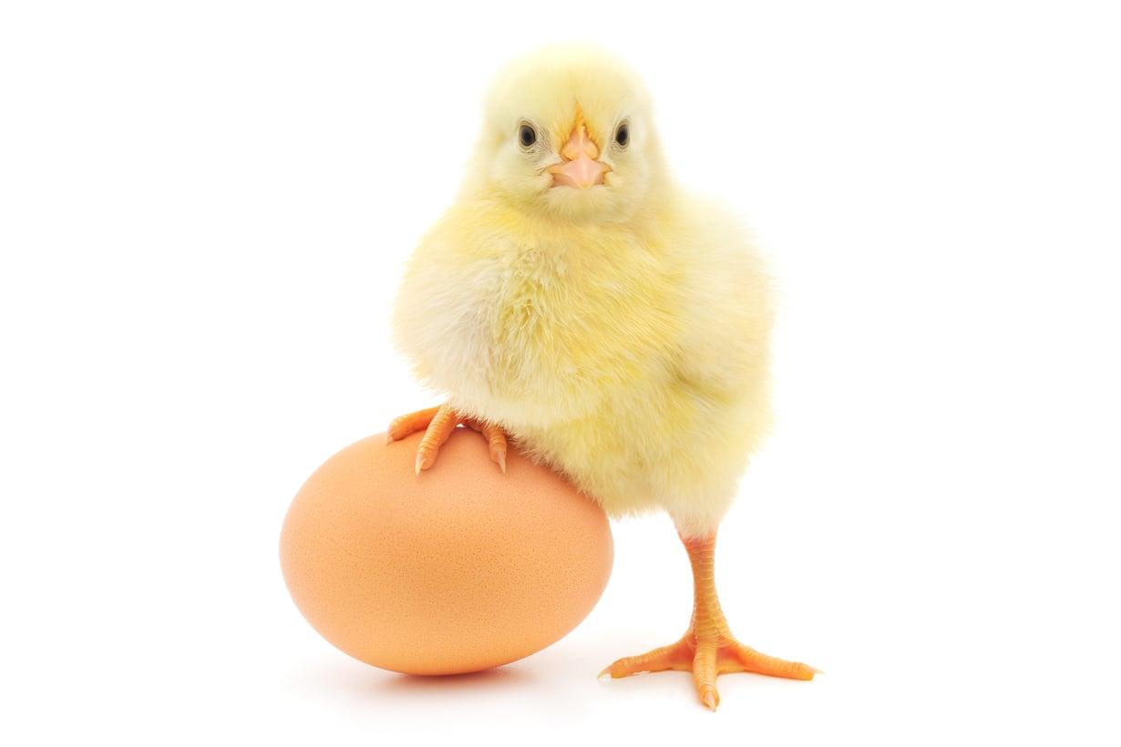 Kana astui kuvaan maatalouden alettua. Kuva: Getty Images